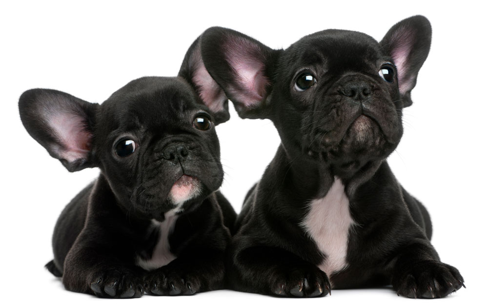 photodune-2653762-two-french-bulldogs-puppies-8-weeks-old-in-front-of-white-background-xl.jpg